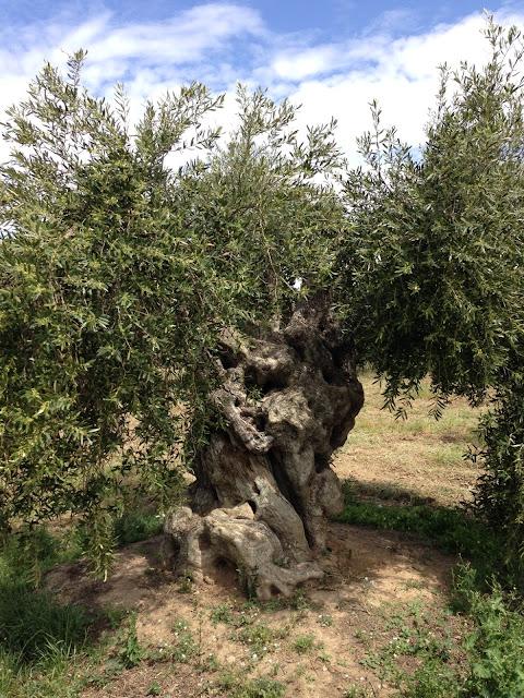 la vinyeta oliveres