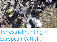 http://sciencythoughts.blogspot.co.uk/2014/01/terrestrial-hunting-in-european-catfish.html