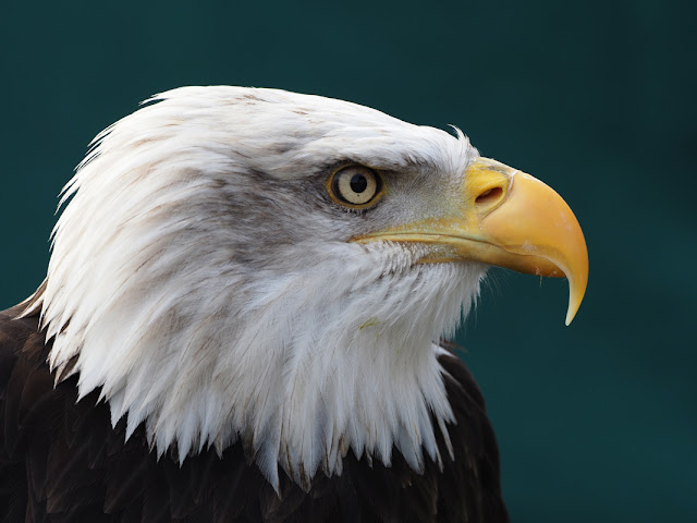 Bald Eagle photographed at Park Cameras Wildlife Day 2018