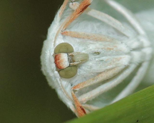 Perlglanzspanner, Campaea margaritata