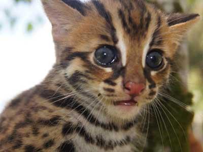 Foto Kucing Hutan Sang Leopard Yang Lucu Dan Imut