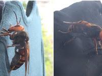 Horrified, human killer Wasps in Japan grew by a bird!