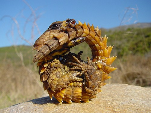 Armadillo Girdled Lizard Ouroborus cataphractus Carnivora Forum - armadillo girdled lizard for sale