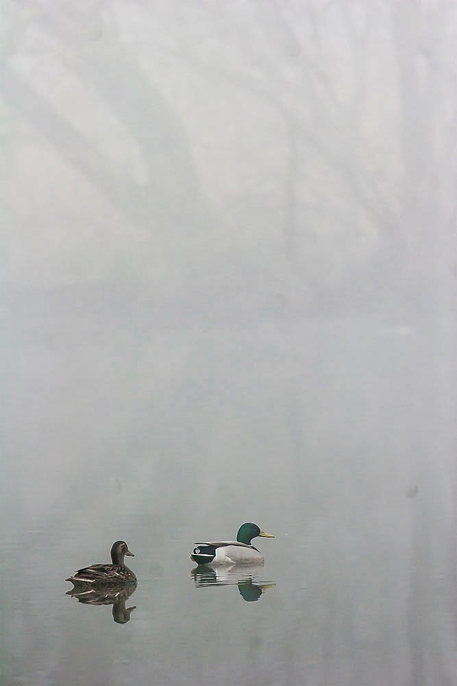 Mallard in the mist, Lodge Lake, Milton Keynes March 2014