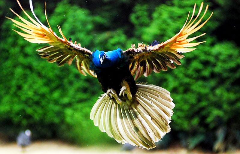 Gambar Burung Merak Terbang