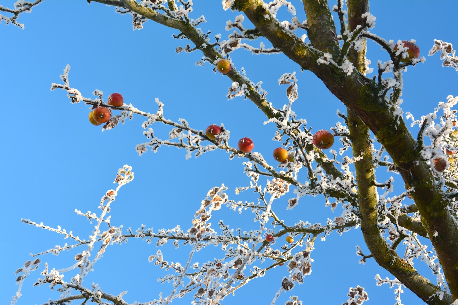 Tree Branches with Apples and Frost in front of a blue sky