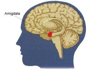 Amigdala nedir ne işe yarar kısaca!