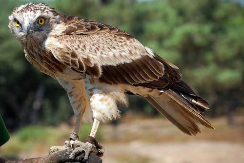 Indian birds - Image of Short-toed snake eagle - Circaetus gallicus