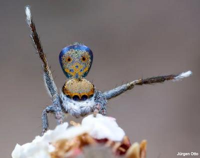 Aranha-pavão, maratus vultus, nova espécie de aranha, new species discovered, Austrália, aracnídeo, natureza, blog natureza e conservação, nature, animal, nova espécie