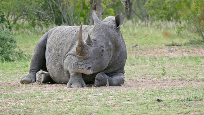 Wallpaper: White rhino