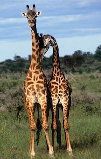 Inilah Binatang-Binatang Yang Homo (BIHO) Part 1