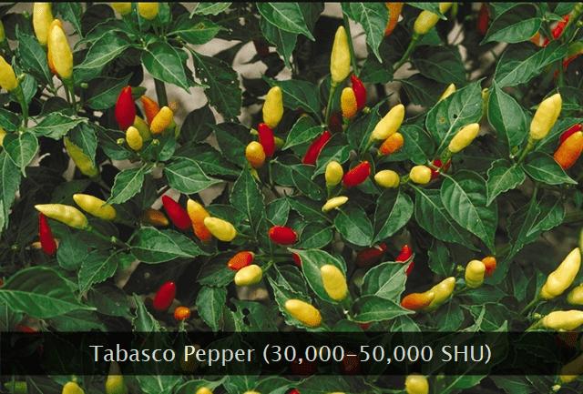 Tabasco chili pepper