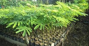 Bisnis perkebunan Budidaya Sengon dan Investasi Sengon Menjanjikan