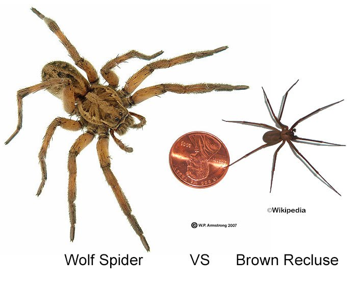 Spider Identification Chart Venomous or Dangerous? Termite  - wolf spider vs brown recluse