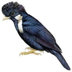 Basilornis galeatus