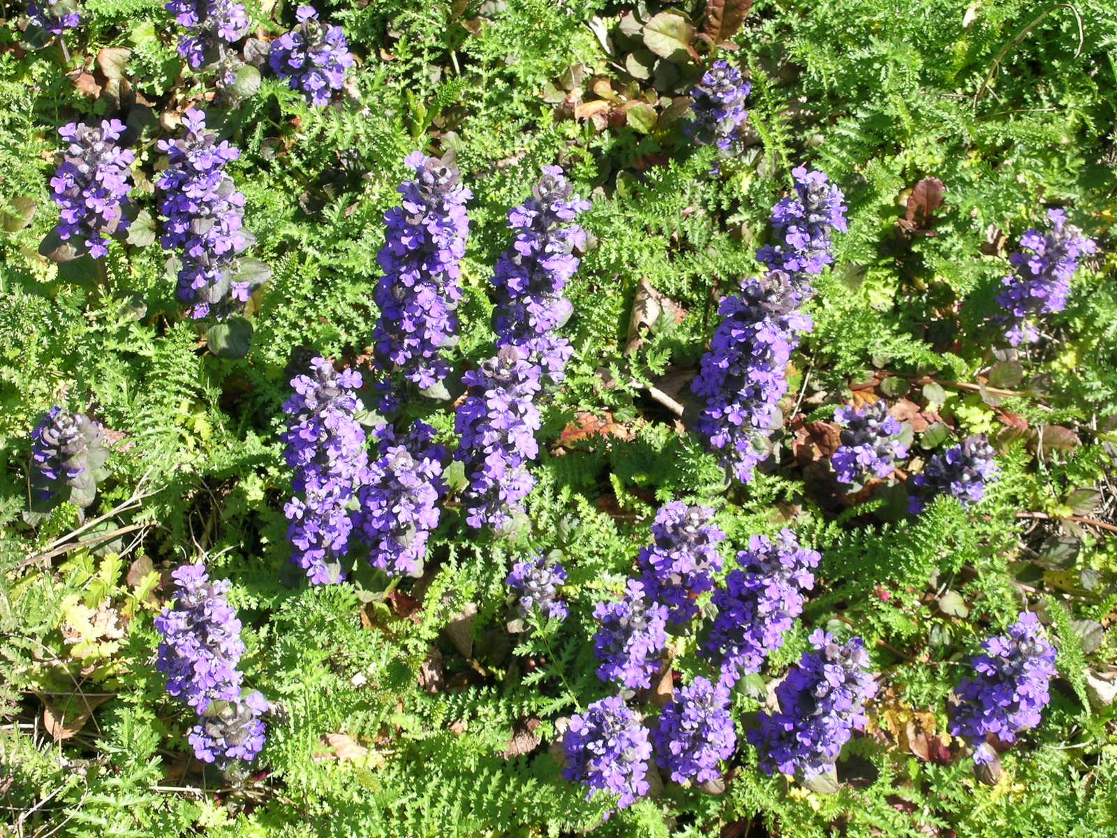 Berkeley Butterfly Blog: Ajuga reptans--Carpet Bugleweed