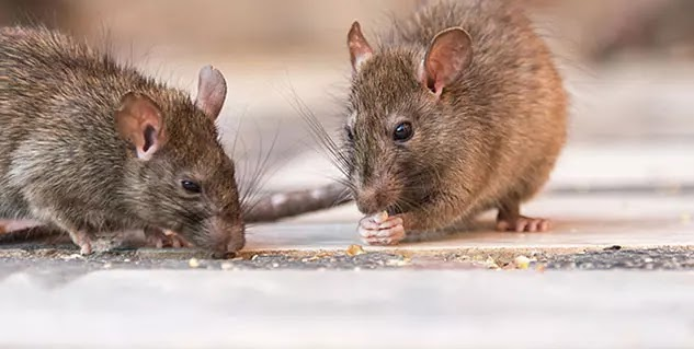 The best ways to get rid of rats from home, fear of seeing your home side