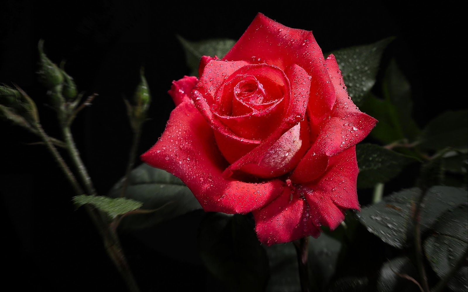 A Rose Is Woody Perennial Flowering Plant Of The Genus Rosa In Family Rosaceae There Are Over 100 Species And Thousands Cultivars