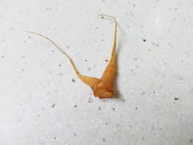 garden carrot flop