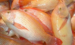 budidaya ikan kakap merah di tambak,budidaya ikan kakap merah air tawar,budidaya ikan kakap merah pdf,budidaya ikan kakap putih,budidaya ikan kakap putih di keramba jaring apung,
