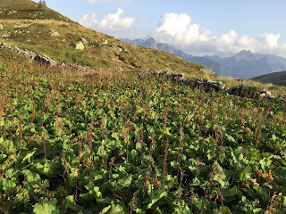 Rumex alpinus – Munk's Rhubarb, Alpine Dock (Romice acetosella).