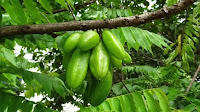 fruit around the world, strange fruit, strange fruit around the world, crazy fruit, crazy fruit around the world, BILIMBI FRUIT