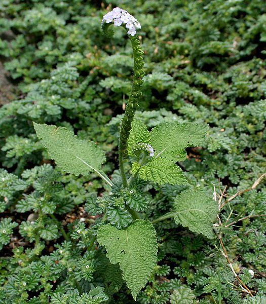 Cây Vòi Voi - Heliotropium indicum - Nguyên liệu làm thuốc Chữa Thê Thấp và Đau Nhức