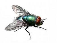 Untuk Apa Diciptakan Lalat? Inilah Jawaban Imam As Syafi'i