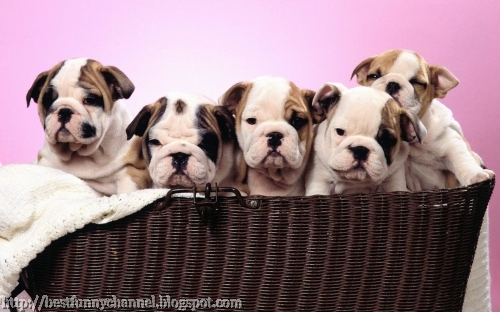 Five puppies in a basket.