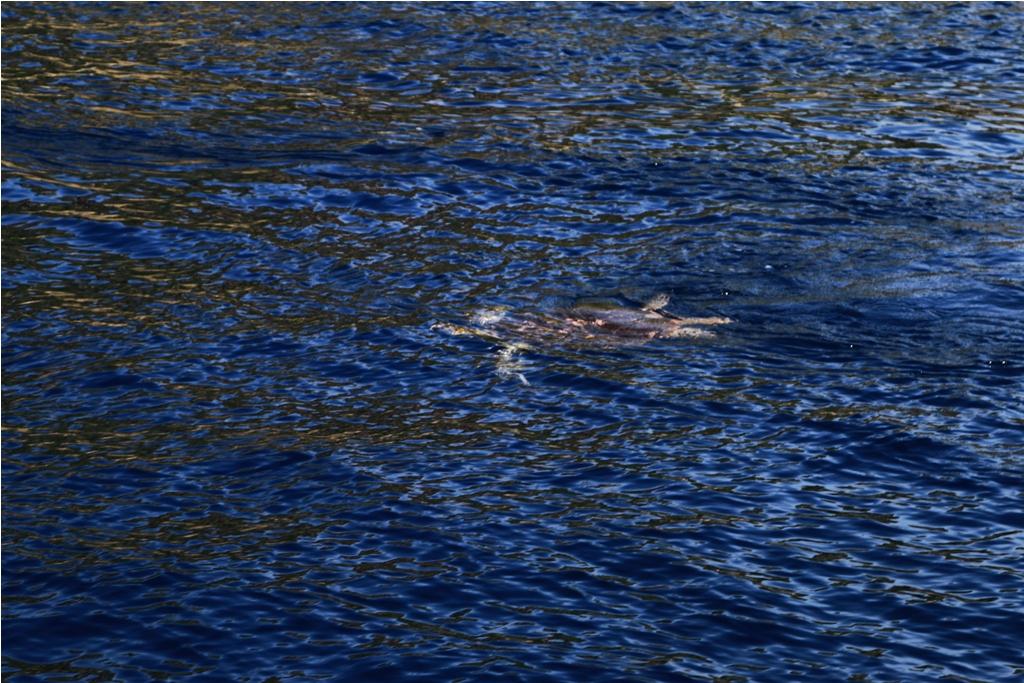 Seekor penyu berenang di permukaan