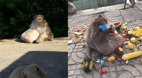 (7 Gambar & Video) Monyet Obes Curi Perhatian Pelancong Di Bangkok