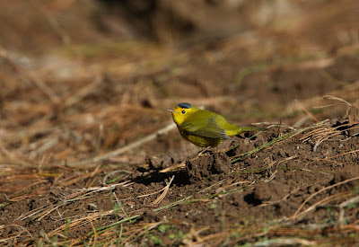 Wilson's warbler, Mexico Simon Colenutt, The Deskbound Birder