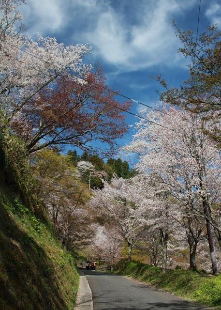 日本第一賞櫻名所:關西奈良吉野山