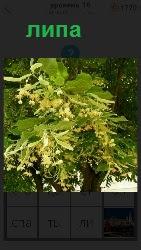 растет дерево липа с листьями и сержками