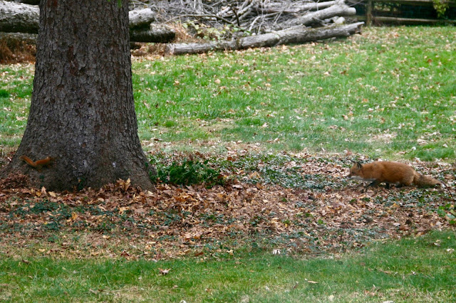 red fox hunting red squirrel