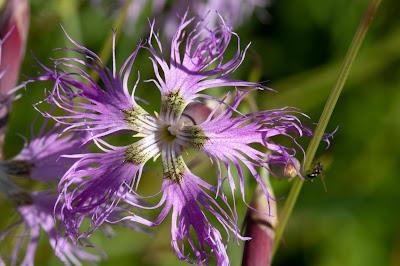 [Caryophyllaceae] Silene flos-cuculi subsp. flos-cuculi – Ragged Robin (Crontonella for di cuculo)