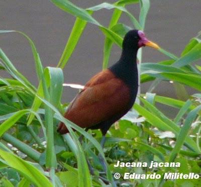 Gallito de agua Jacana jacana