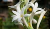 Cara Menanam & Merawat Bunga Sedap Malam Di Taman Atau Di Pot ( Panduan Lengkap )