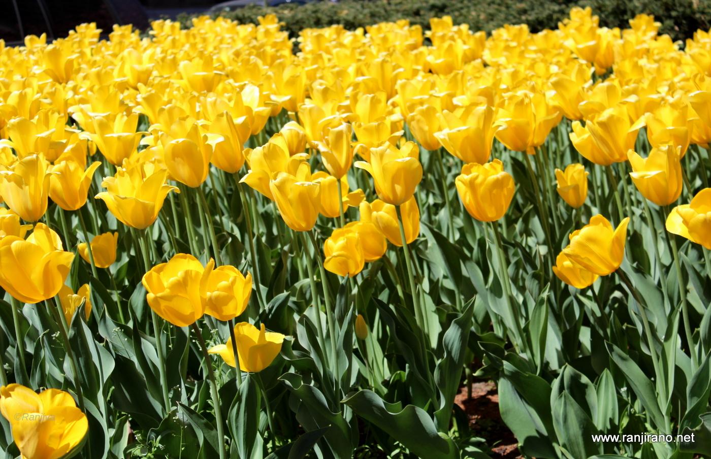 fleurs tulipes jaunes. Black Bedroom Furniture Sets. Home Design Ideas