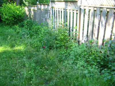 Toronto garden cleanup before with bed full of weeds by garden muses: a Toronto gardening blog