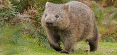 Wombat y biologia