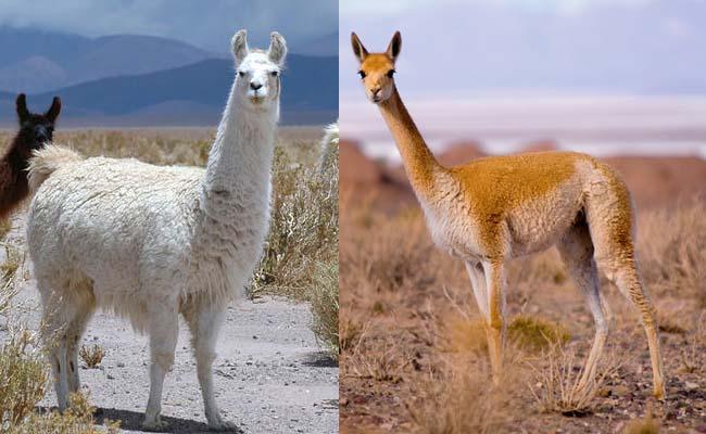 Llama & Guanako