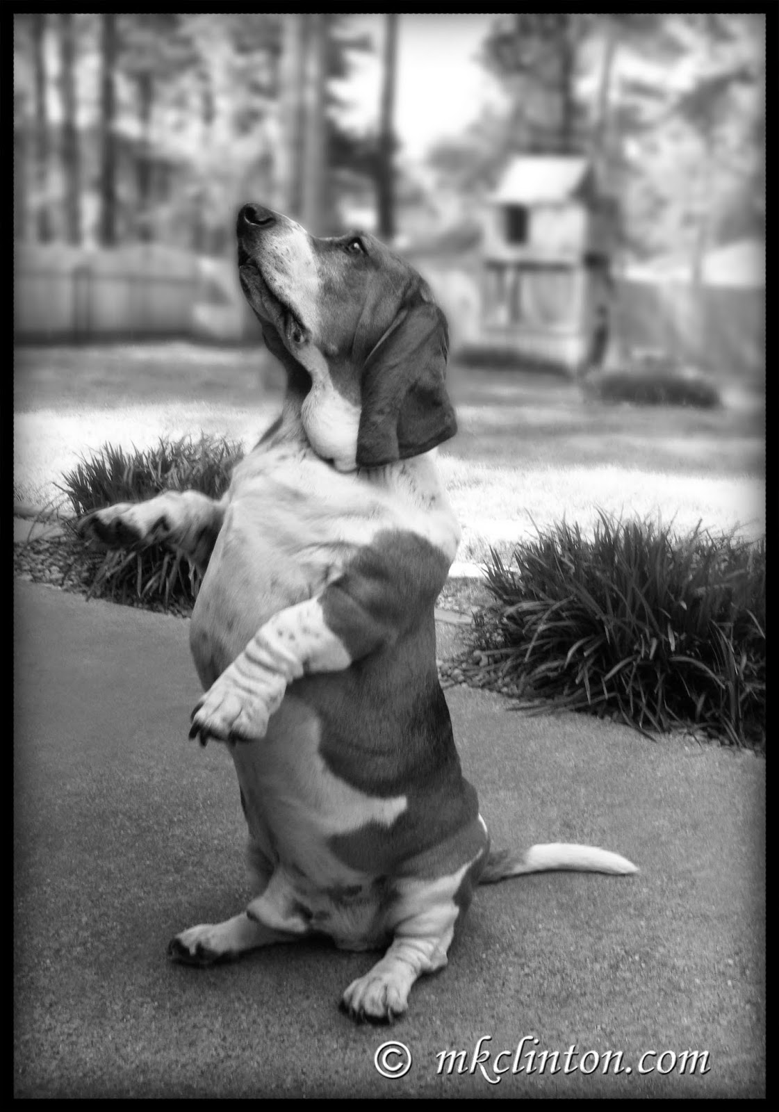 Basset Hound sitting up