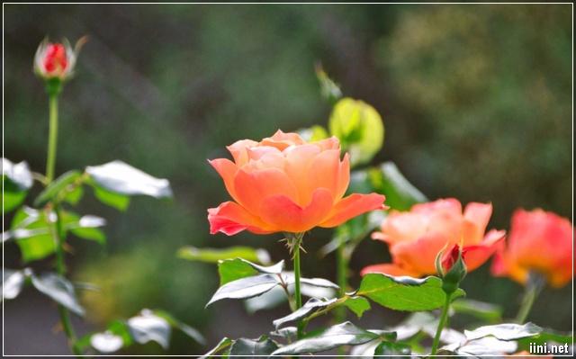 ảnh hoa hồng đẹp
