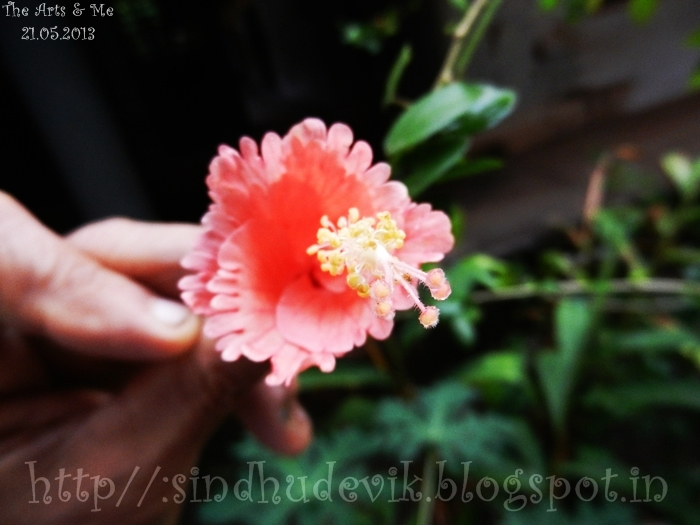 My dad holding a mutated peach hibiscus. The flower is almost half in its size. Photographed with stigma in focus.