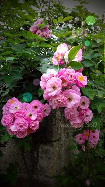 mua hoa hồng giá rẻ