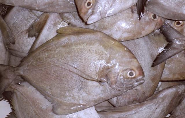 Peluang Usaha Budidaya Ikan Bawal