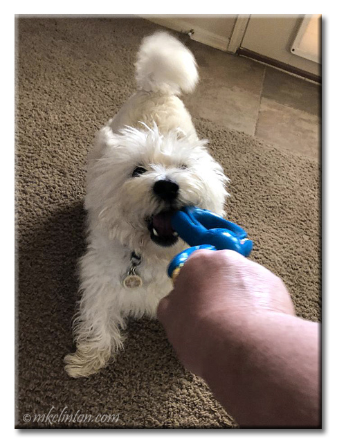 Westie playing with Figure 8 toy indoors.