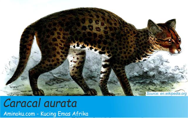 Kucing emas afrika