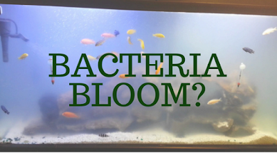 how to get rid of cloudy fish tank water, bacteria bloom